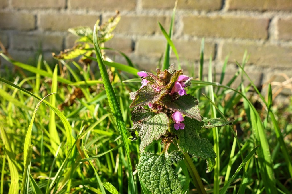 Red dead nettle,flower,plant,leaves,grass - free image from ...